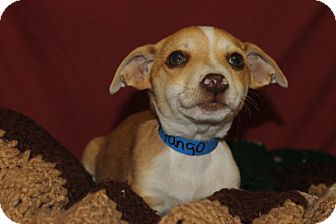 Beagle Mix Puppy for adoption in Waldorf, Maryland - Tango