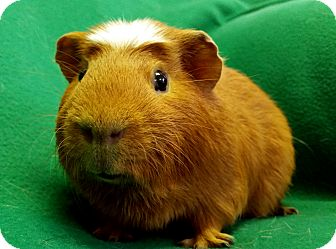 Guinea Pig for adoption in Lewisville, Texas - Sven