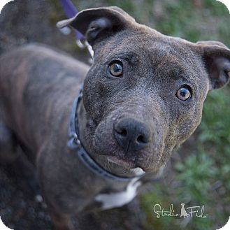 American Pit Bull Terrier Mix Dog for adoption in Farmington Hills, Michigan - Willow