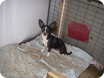 Rat Terrier Mix Dog for adoption in Buchanan Dam, Texas - Jake