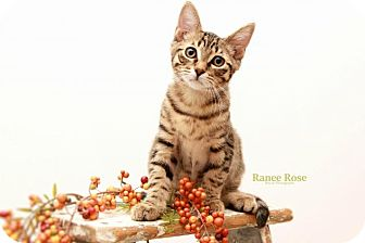 Domestic Shorthair Kitten for adoption in Sterling Heights, Michigan - Ronaldo - ADOPTED