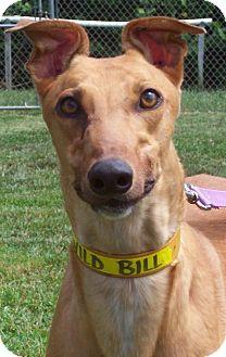 Greyhound Dog for adoption in Randleman, North Carolina - Bill