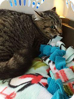 Domestic Shorthair Cat for adoption in Edinburg, Pennsylvania - Micah