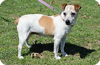 Jack Russell Terrier Dog for adoption in Dallas/Ft. Worth, Texas - Gigi in Denton, TX