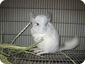 Chinchilla for adoption in Lancaster, California - Chinchilla