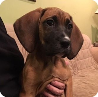 Bloodhound Puppy for adoption in Westport, Connecticut - Jolene