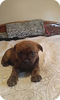 Boston Terrier Mix Puppy for adoption in New Haven, Connecticut - Britini