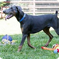 Adopt A Pet :: COBALT - Greensboro, NC