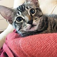 Adopt A Pet :: Broccolini - Campbell, CA