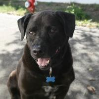 Labrador Retriever Mix Dog for adoption in West Des Moines, Iowa - Buddy