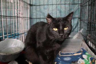 Domestic Shorthair/Domestic Shorthair Mix Cat for adoption in Robinson, Illinois - JinXie