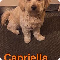 Adopt A Pet :: Capriella - Newport Beach, CA