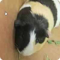 Adopt A Pet :: *Urgent* Melody - Fullerton, CA