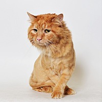 Domestic Mediumhair Cat for adoption in Fruit Heights, Utah - Tosh