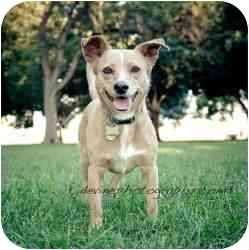 Corgi/Chihuahua Mix Dog for adoption in West Richland, Washington - Charlie Brown