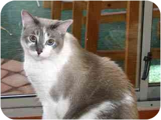 Domestic Shorthair Cat for adoption in Scottsdale, Arizona - Frodo