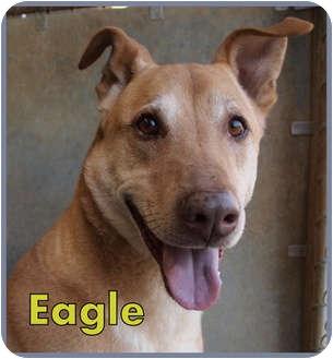 Labrador Retriever Mix Dog for adoption in Aldie, Virginia - Eagle