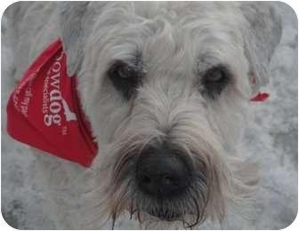 Wheaten Terrier Dog for adoption in Okotoks, Alberta - Blue