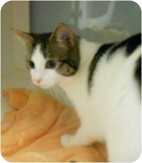 Domestic Shorthair Cat for adoption in Maywood, New Jersey - Noel