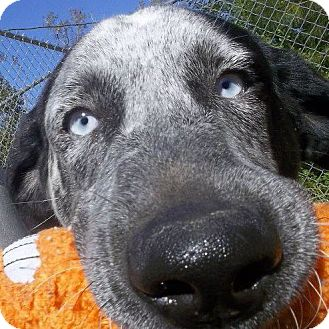 Border Collie Mix Dog for adoption in Shirley, New York - DOMINO