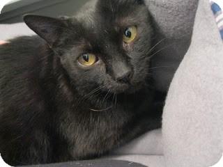 Manx Cat for adoption in Chicago, Illinois - Petra