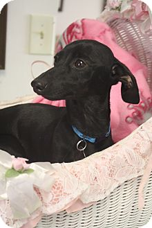 Dachshund Mix Dog for adoption in Huntsville, Alabama - Gypsy