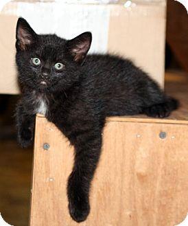 Domestic Shorthair Kitten for adoption in Cary, North Carolina - Calypso
