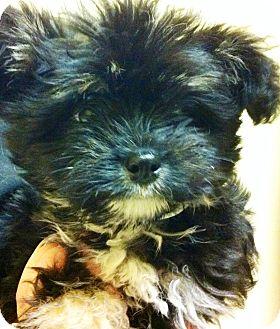Maltese/Poodle (Miniature) Mix Puppy for adoption in Oswego, Illinois - I'M ADPTD Swthrts Sundae Arce