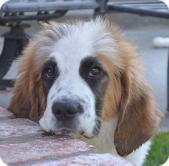 St. Bernard Puppy for adoption in Bellflower, California - Colleen