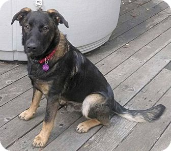 German Shepherd Dog Mix Dog for adoption in McKinleyville, California - Jax
