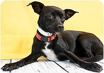 Chihuahua/Patterdale Terrier (Fell Terrier) Mix Puppy for adoption in Phoenix, Arizona - Gracie