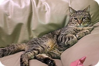 Domestic Shorthair Cat for adoption in THORNHILL, Ontario - Bentley