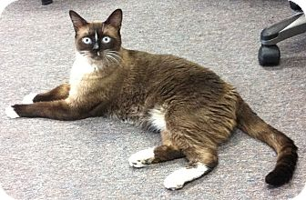 Siamese Cat for adoption in Riverside, California - Tommy