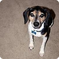 Adopt A Pet :: Pepper Joe - Phoenix, AZ