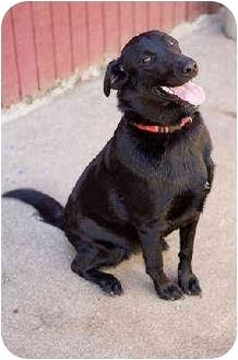 Labrador Retriever Mix Puppy for adoption in Portland, Oregon - Nemo