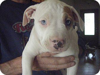 American Bulldog/Pit Bull Terrier Mix Puppy for adoption in Ortonville, Michigan - stoli