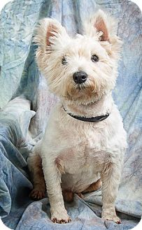 Westie, West Highland White Terrier Dog for adoption in Anna, Illinois - ACE