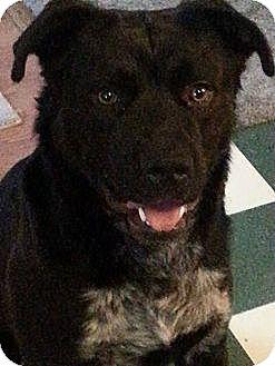 Rottweiler/Australian Shepherd Mix Dog for adoption in Williamsburg, Virginia - Milo