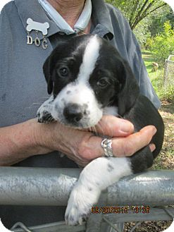 Border Collie/Feist Mix Puppy for adoption in Oswego, New York - Benjamin