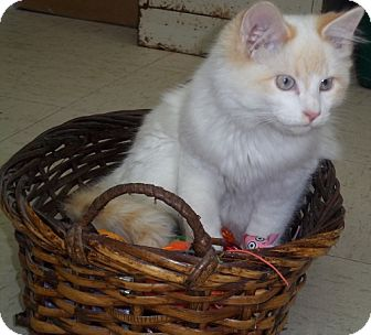 Domestic Longhair Cat for adoption in Greenville, Kentucky - Butters