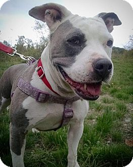 Staffordshire Bull Terrier Mix Dog for adoption in Bellingham, Washington - C'est la Vie