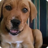 Adopt A Pet :: Gingerbread - Burlington, NJ