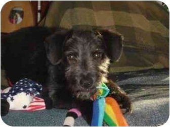 Scottie, Scottish Terrier Mix Dog for adoption in Canton, Texas - McKenzie