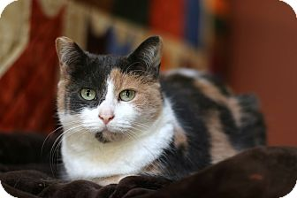 Domestic Shorthair Cat for adoption in New Prague, Minnesota - Pandora