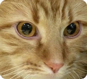 Domestic Mediumhair Cat for adoption in Tucson, Arizona - Hugo - our 18lb gentle giant