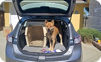 Jindo Dog for adoption in Los Angeles, California - George URGENT FOSTER NEEDED!