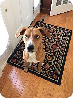 Labrador Retriever Mix Dog for adoption in Winchester, Virginia - Praline
