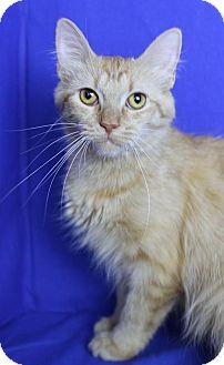 Domestic Mediumhair Cat for adoption in Winston-Salem, North Carolina - Tessa
