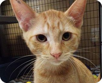Domestic Mediumhair Kitten for adoption in Grants Pass, Oregon - Ashton