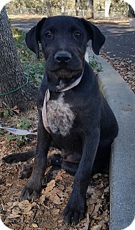 Brussels Griffon/Staffordshire Bull Terrier Mix Puppy for adoption in Red Bluff, California - Ben